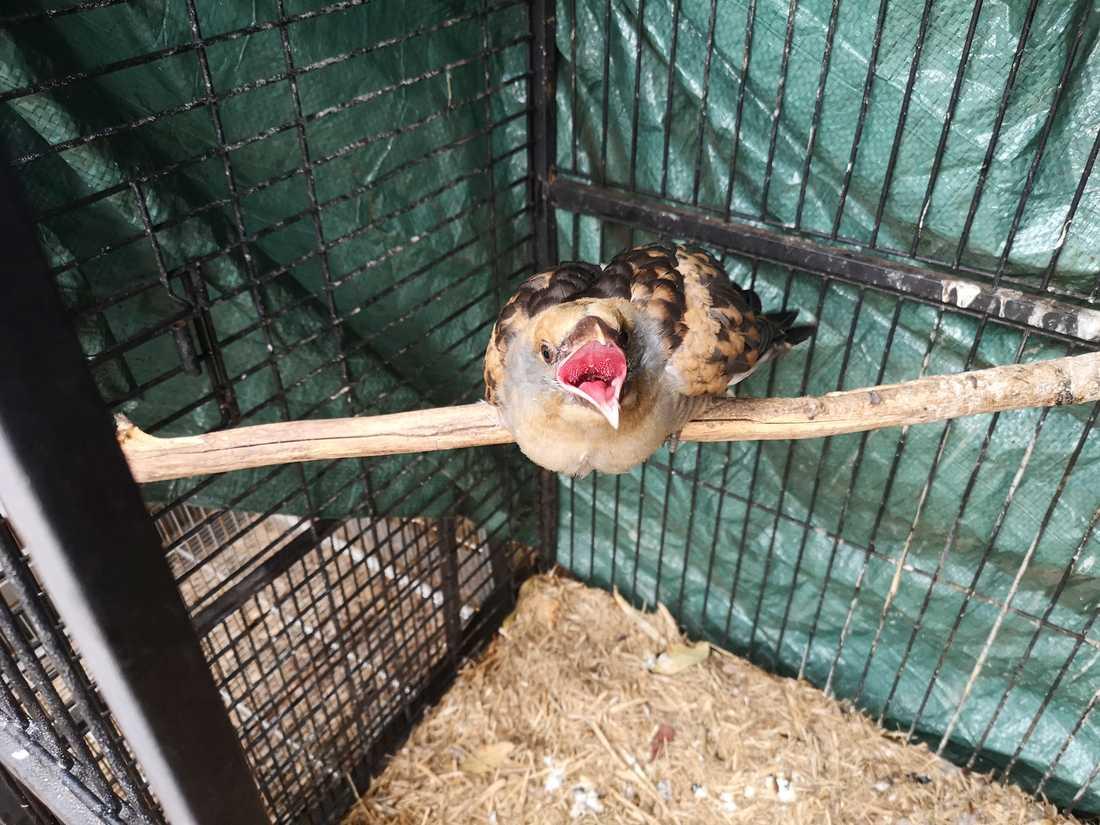 Jättegöken hos Inga Schwaiger, djurräddare inom Wires, på hennes tomt i Balmoral där hon vårdar skadade djur.