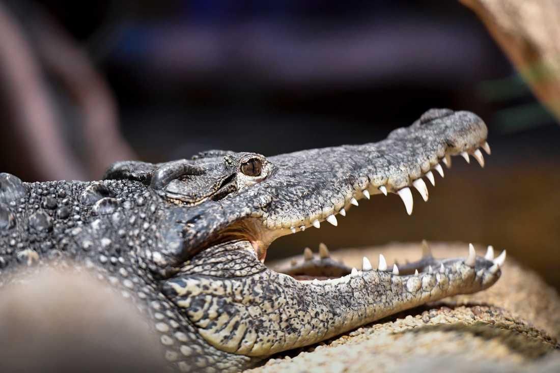 En av Skansenakvariets två Kubakrokodiler. Arten är en av de mest aggressiva krokodilarterna.