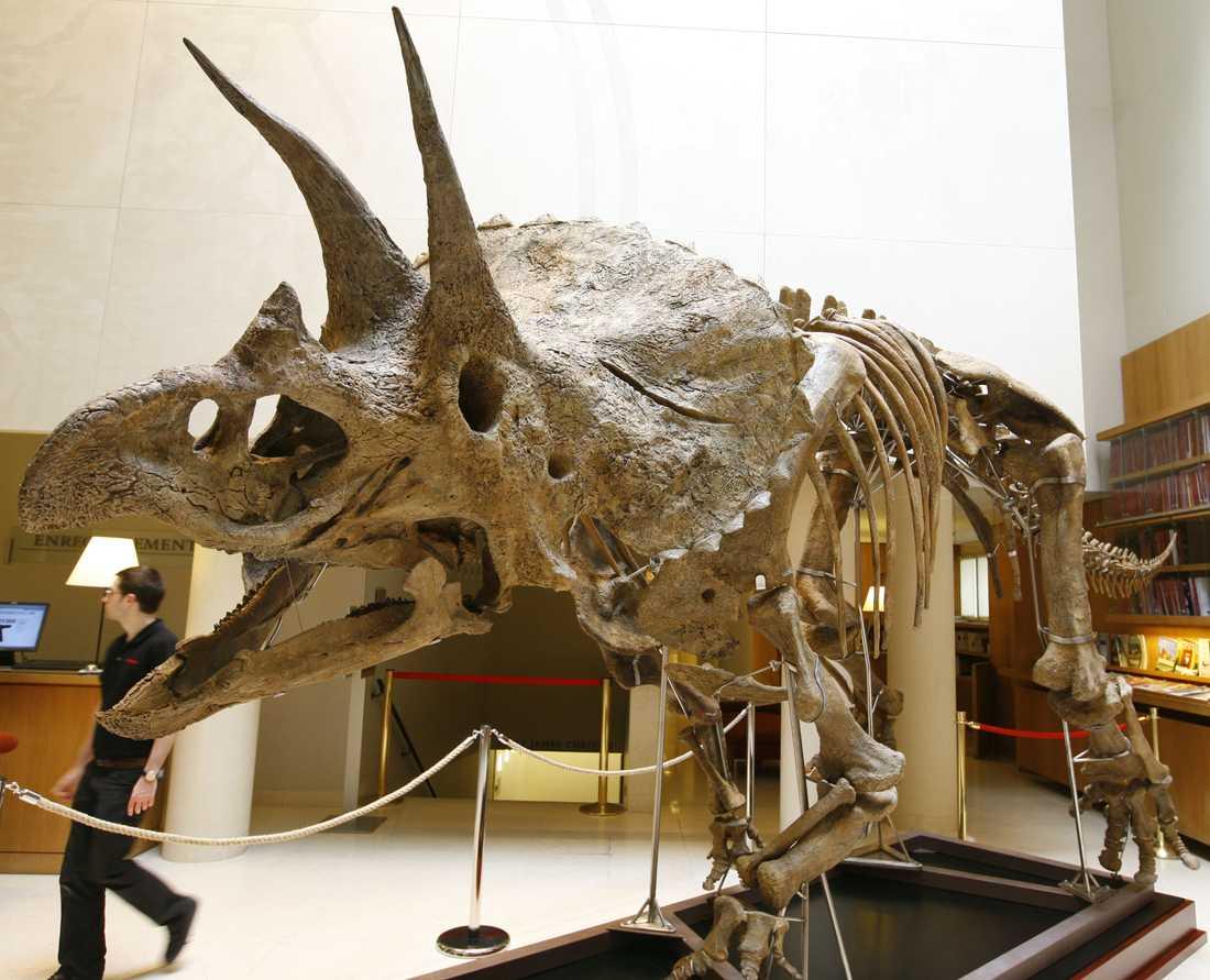 Forskarna träter om Triceratopsen, som den på bilden, egentligen är en ung variant av den större Torosaurusen, eller en egen art.