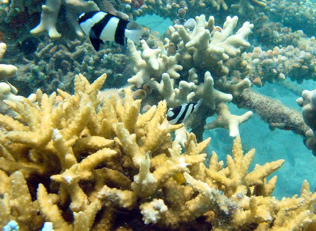 Forskare har gjort positiva upptäckter för korallreven.Arkivbild