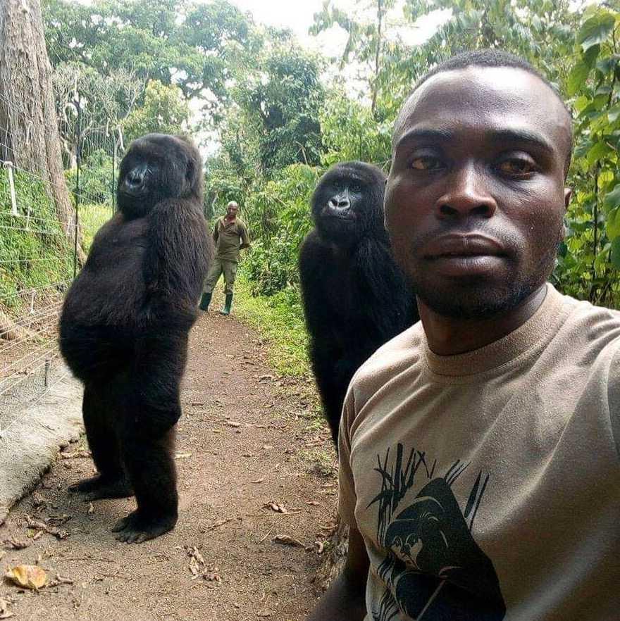 Gorillorna Ndakasi och Matabishi ställer upp å en selfie med Mathieu Shamavu.