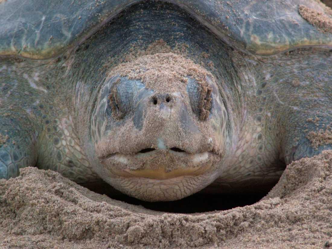 Sydlig bastardsköldpadda. Bilden har ingen koppling till händelsen i artikeln.