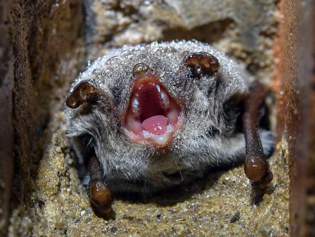 En vattenfladdermus hänger från ett tak i en källare, täckt av små vattendroppar. Arkivbild.