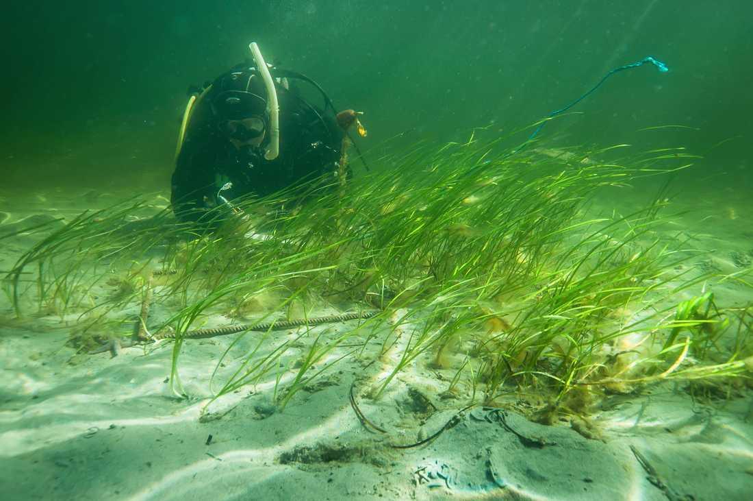 Dykare som planterar ut ålgräs. Arkivbild.