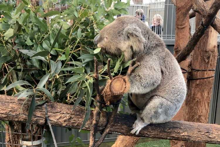 Koalasjukhuset i Port Macquarie på Australiens östkust är det enda i sitt slag. Här en av sjukhusets patienter – koalan Xavier.