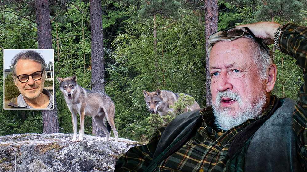 """Förra vinterns varginventering visade att det fanns 305 vargar i Sverige – inte """"flera tusen"""" som Leif GW Persson påstod i TV4:s """"Brottsjournalen"""", skriver Jan Bergstam."""