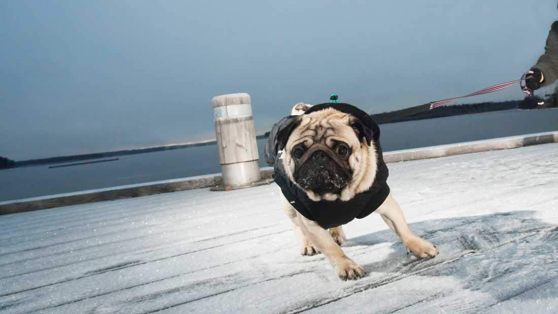 Även hundar fryser på vintern. Arkivbild.