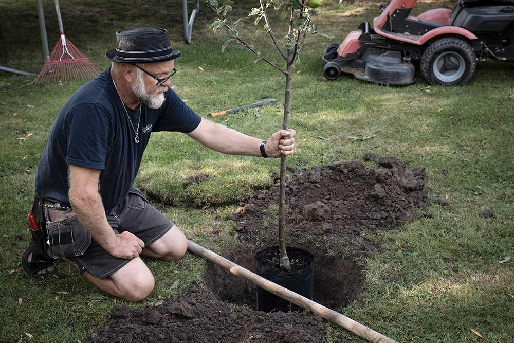 Plantera i rätt höjd. Vanligt fel att plantera för djupt.