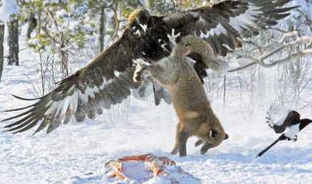 Attackerar Kungsörnen tänker inte låta räven njuta av sin lunch i fred.