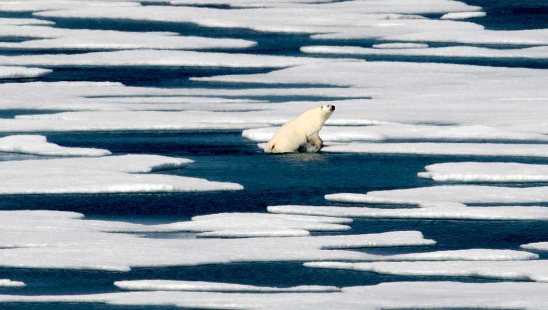 En isbjörn simmar mellan isblock i norra Kanadas skärgård.