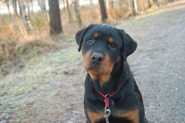 Eilert är en sex månader gammal Rottweiler. Han älskar att sova och låter mycket. Matte är Kristina Brandt.
