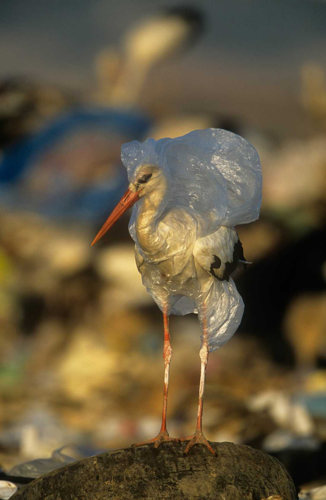 En vit stork som fastnat i en plastpåse på en avskrädesplats i Spanien. Fågeln befriades från plasten av fotografen. Arkivbild.