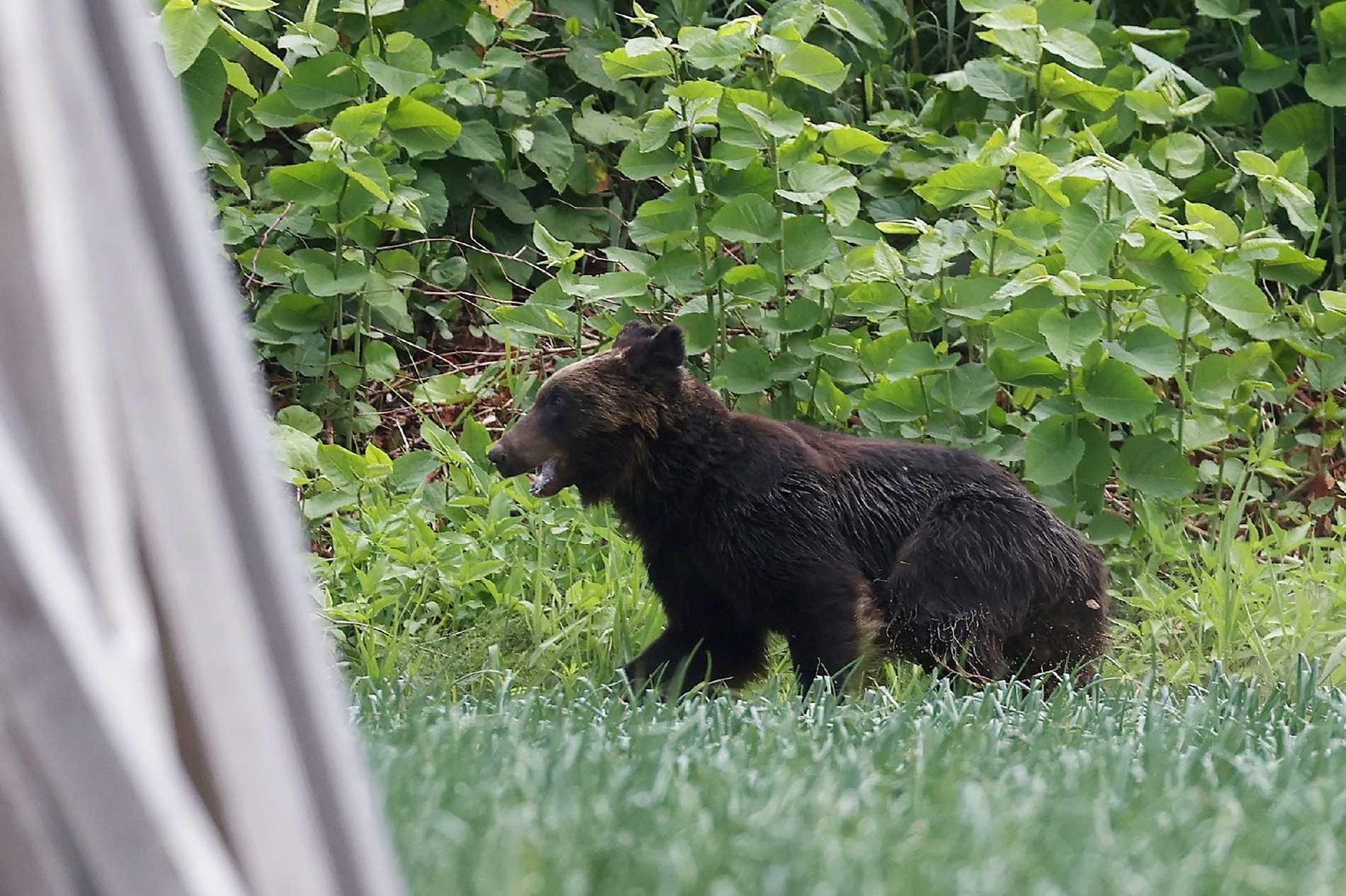 Den vilda brunbjörnen, som skadade fyra personer innan den sköts ihjäl på fredagen, fångad på bild i Sapporo i Hokkaido prefektur i Japan.