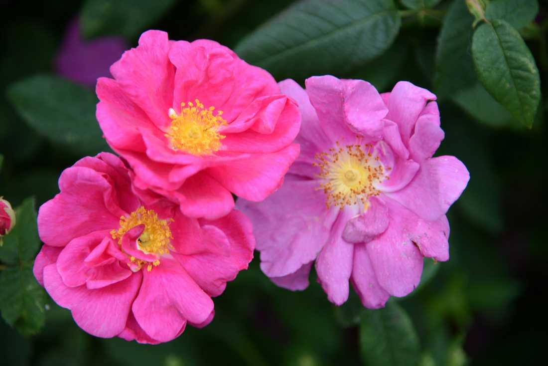 Den gammeldags rosen officinalis, eller apotekarrosen som den också kallas.