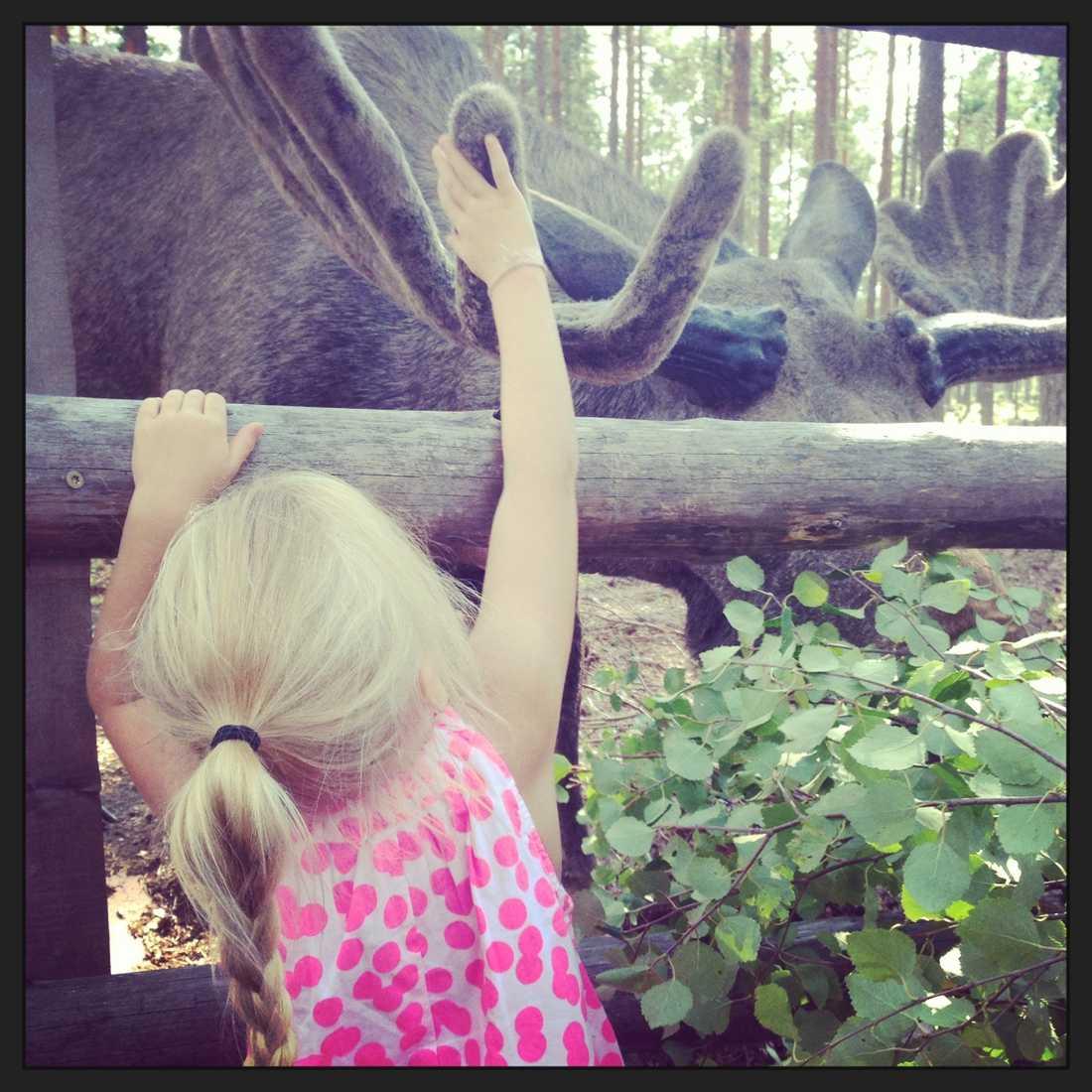 En modig liten tjej som vågade klappa den stora älgen när vi besökte rörbäcksnäs älgsafari.