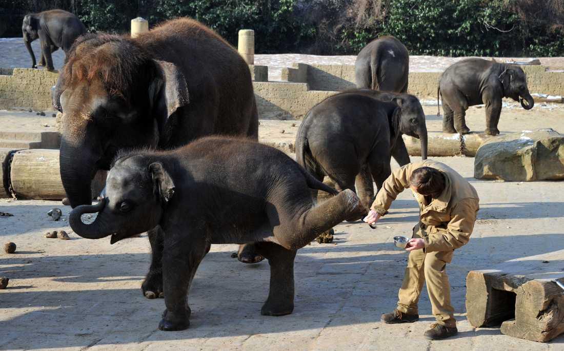 Elefanterna får hudvård på Hanovers zoo i Tyskland. Elefanterna har köldkänslig hud.