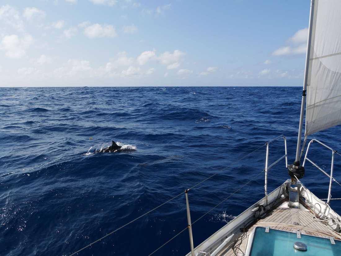 En delfin leker framför båten på Atlanten.