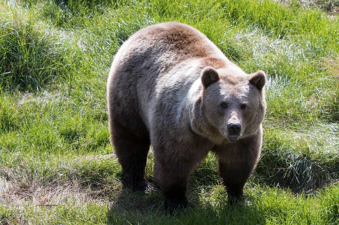 Björnen på bilden har inget med händelsen att göra. Arkivbild.
