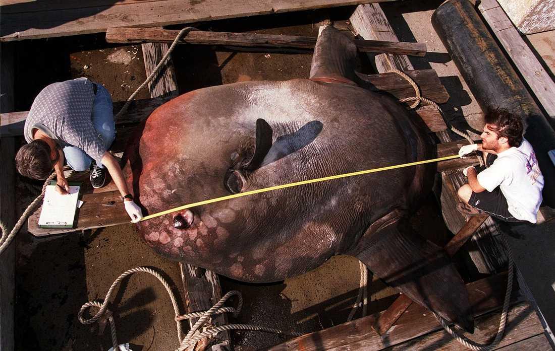 Hösten 1998 körde en båt i Sydneys hamn på den här klumpfisken, som vägde 1,4 ton. Arkivbild.