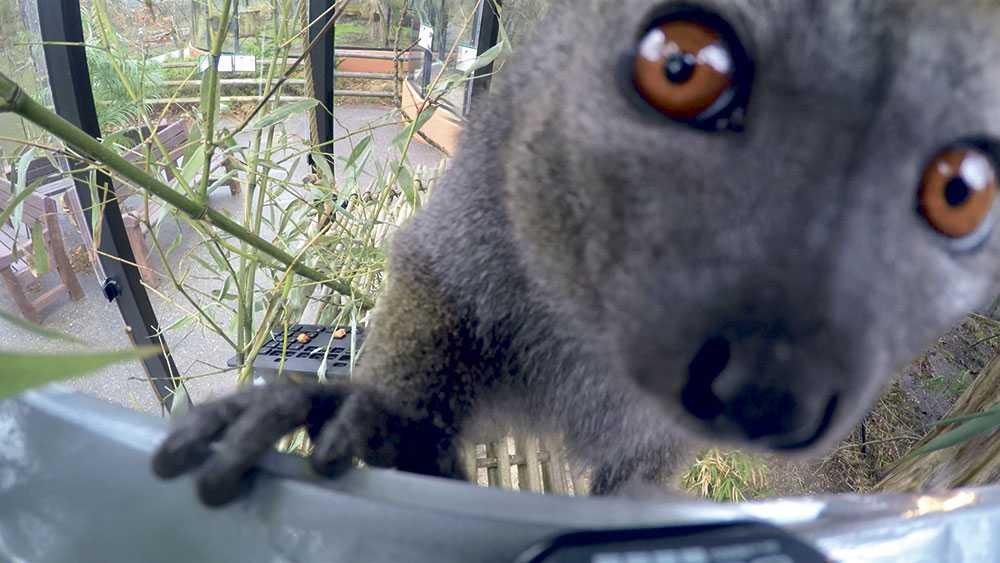 Här är en av parkens lemurer i år har de fått sällskap av två individer från lemurarten svart-vit vari.