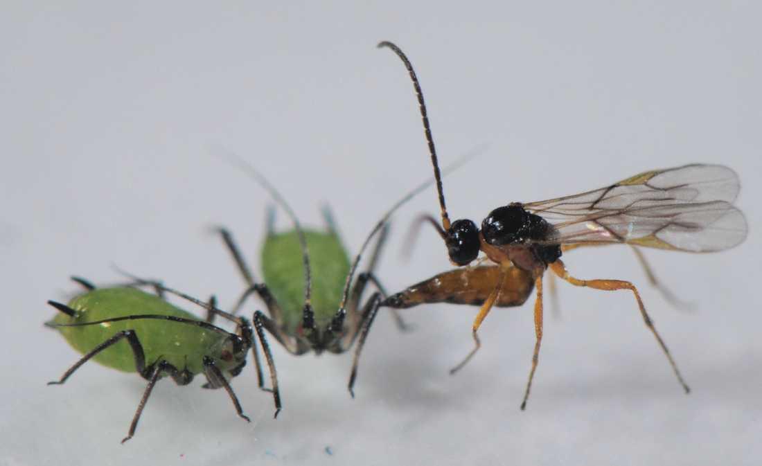 En parasitstekel attackerar och lägger ägg i två bladlöss. Dess larver äter sedan upp bladlössen inifrån medan dessa ännu lever.
