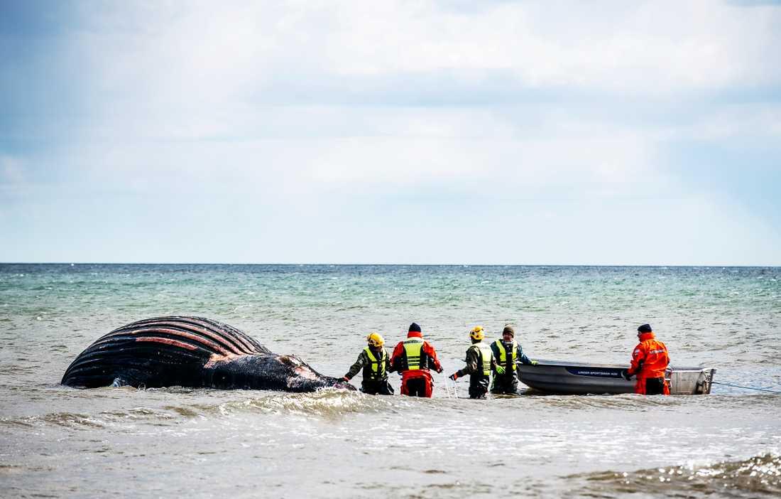 Den strandade knölvalen på Öland får ligga kvar. Beslut om dess öde tas i nästa vecka.