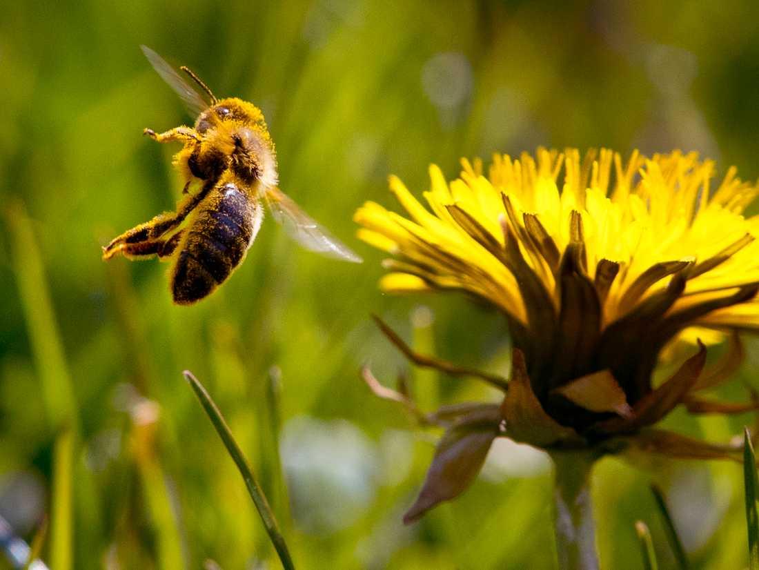 Vilda bin har en viktig funktion med att pollinera blommor, träd och buskar. Nu satsas elva miljoner kronor på att skapa bättre miljöer för hotade humlor och bin. Arkivbild.