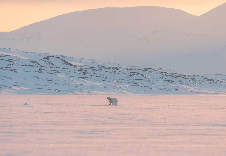 På Nordpolen finns det möjligheter att se isbjörnar.