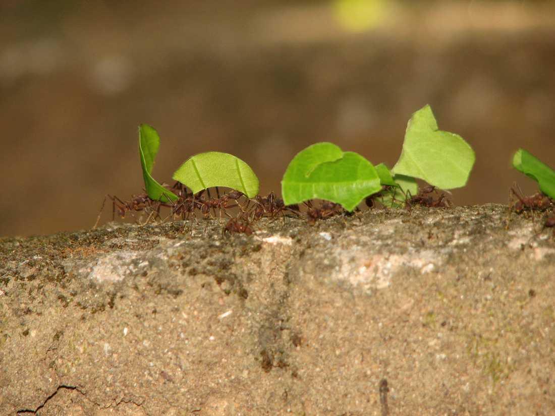 Bladskärarmyror som bär gröna blad. För att arbetet ska underlättas anlägger myrorna ett nätverk av vägar och stigar i djungeln.