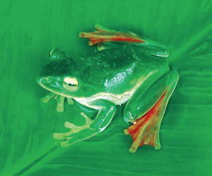 Flygande grodan Grodan kallas den flygande grodan eftersom fötterna gör att den liksom kan glida i luften när den faller. Den upptäcktes 2007 i Indien.