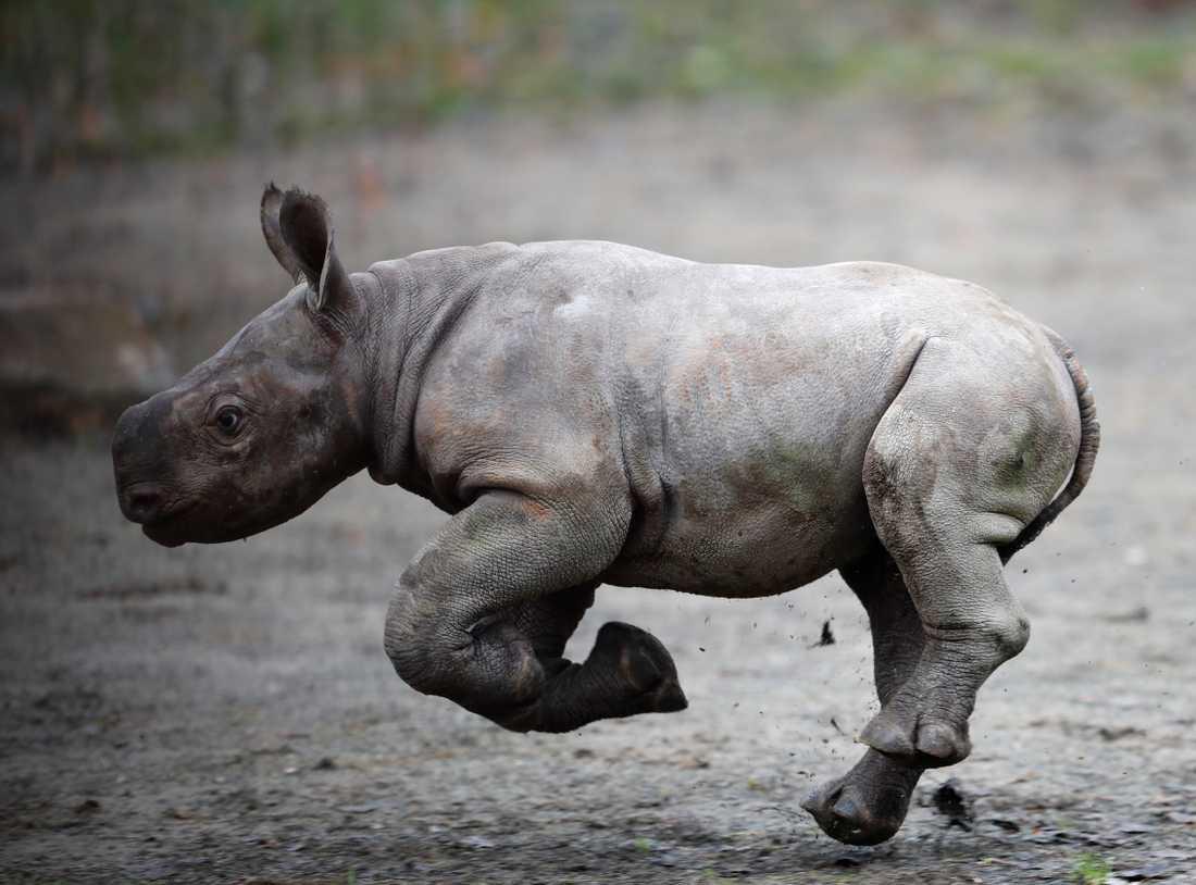 Få spetsnoshörningar lever numera utanför nationalparker och reservat. Den här föddes på en djurpark i Tjeckien för några år sedan. Arkivbild.