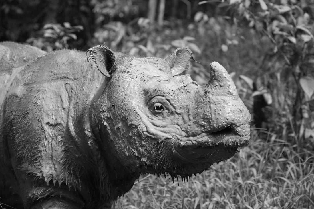 Noshörningshanen Tam har dött. Han var Malaysias näst sista Sumatranoshörning – nu finns bara honan Iman kvar.