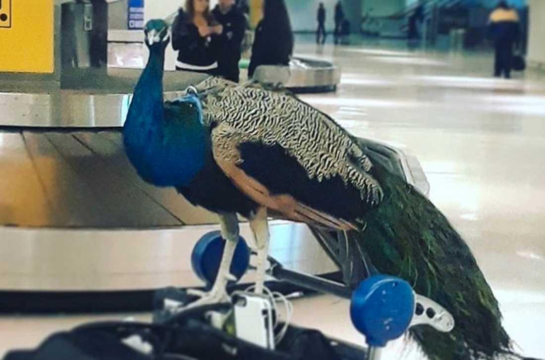 Här är Dexter – påfågeln som inte fick flyga till Los Angeles.