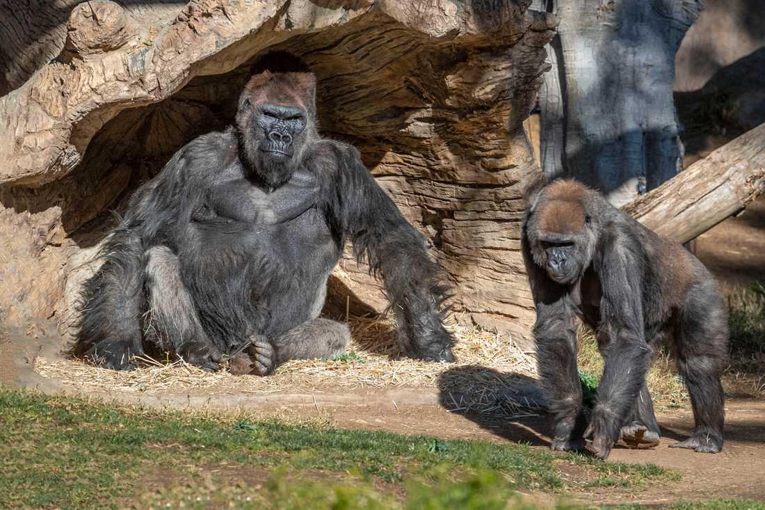 Några av gorillorna på San Diego Zoo Safari Park i Kalifornien. Arkivbild.
