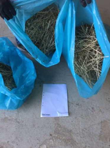 Vid tillslaget hittades också skördad och torkad narkotika.