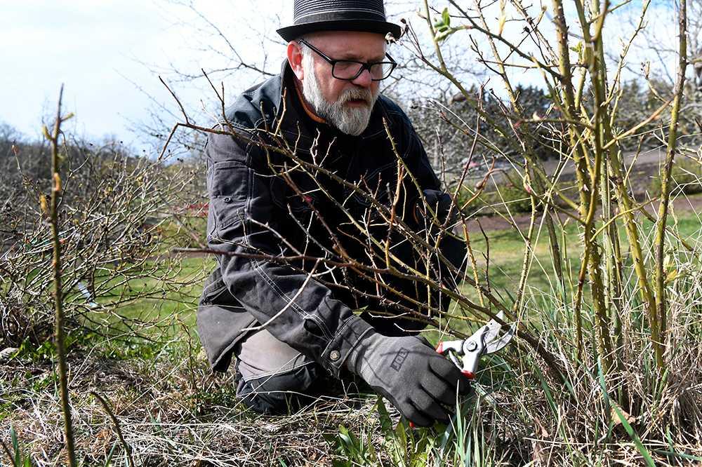 Bosse Rappne beskär rosor på Ulriksdals Slottsträdgård
