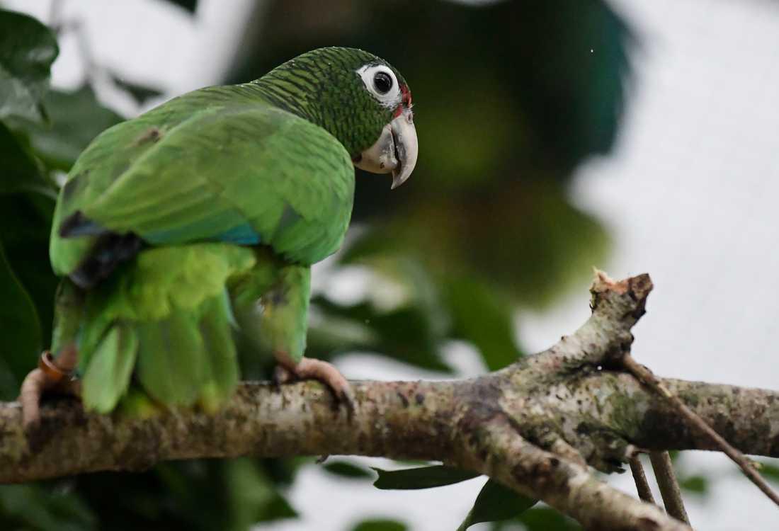 Papegojarten puertoricoamazon är en av många arter i världen som är hotad. Arkivbild.