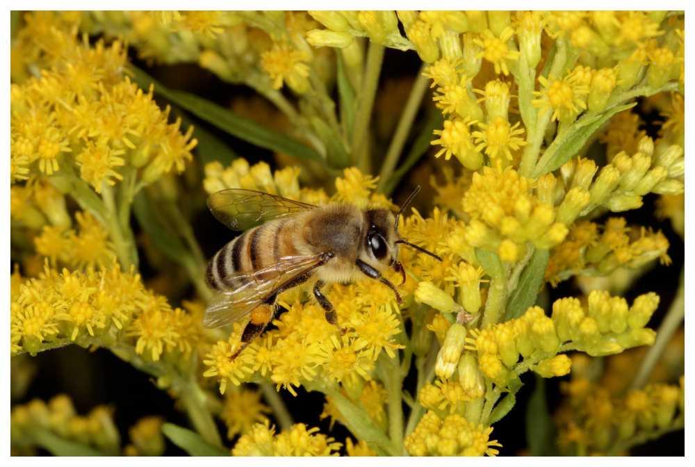 Nu surrar både honungsbin och solitärbin bland blommorna.