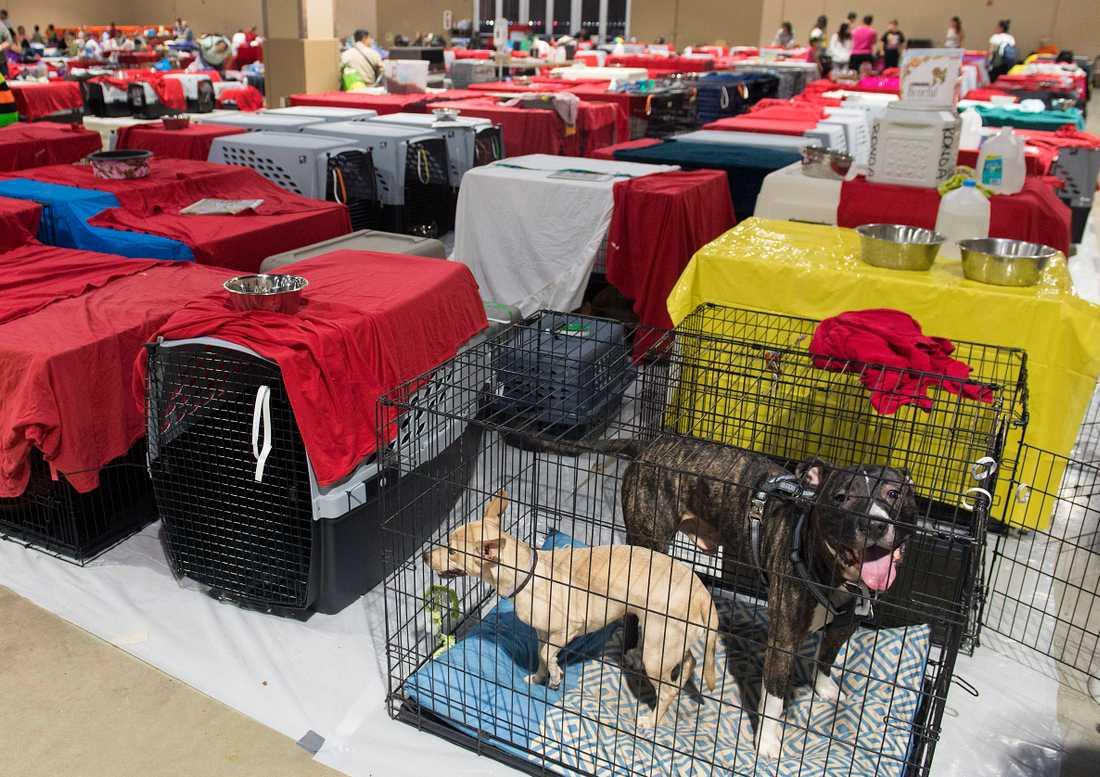 Hundar tas om hand på Dade County Fair Expo Center i Miami.
