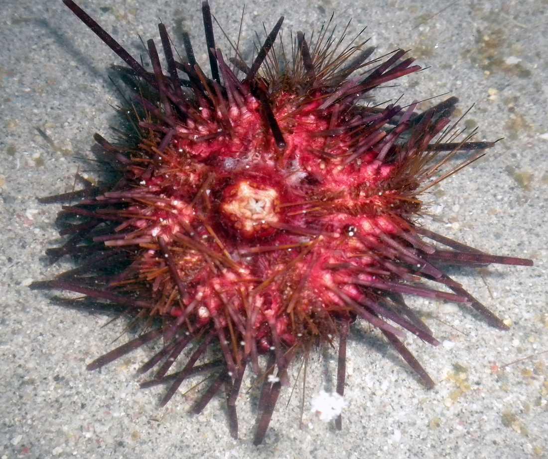 Sjöborre Det här är en tidigare okänd medlem av familjen Echinotrix. Den distinkta röde färgen skiljer den från de vanligare brunaktiga sjöborrarna.