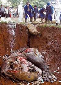 SMITTADE DJUR SLAKTAS I en förort till Jakarta i Indonesien slaktades i går 18 grisar som blivit smittade av fågelinfluensan. Grissjukan som drabbat Kina tros spridas genom köttet från infekterade djur.