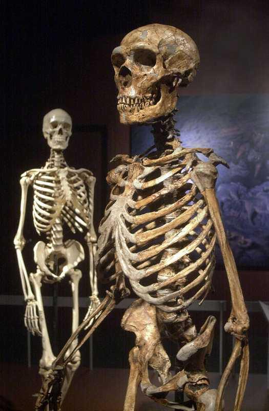 Skelett av neandertalare (främst) och homo sapiens.
