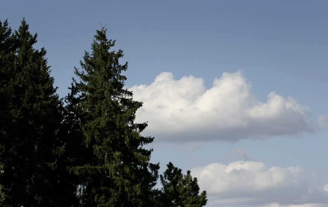 Sveriges högsta träd är en gran. Arkivbild.