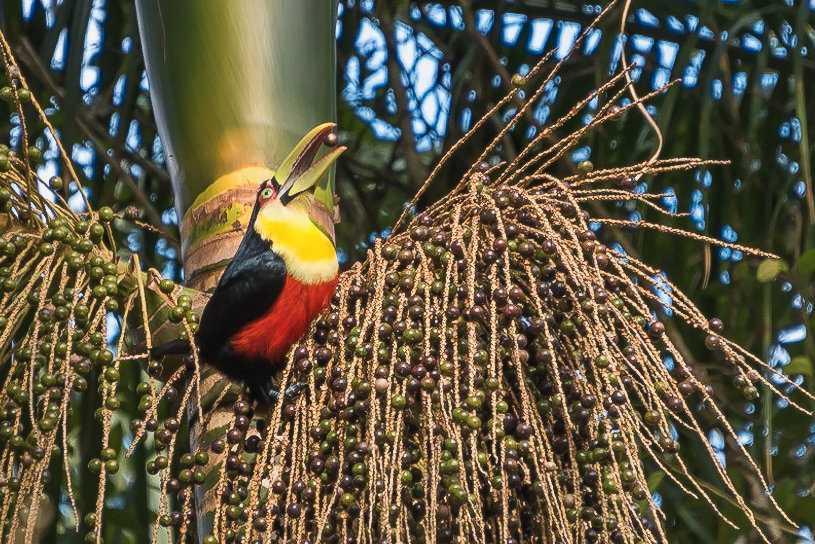 Flera arter av tukaner äter av jussarapalmens frukter och sprider dess frön via spillningen.