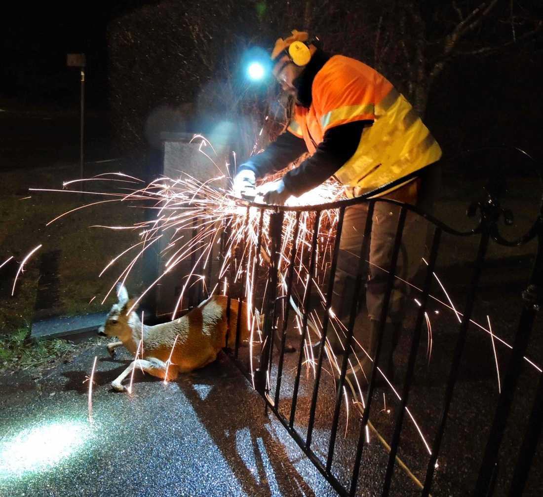 Ett rådjur som fastnat i ett staket fick hjälpas loss.