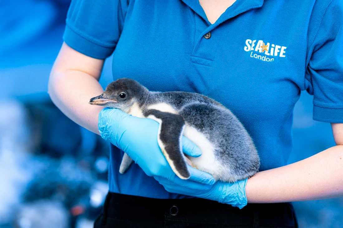 Pingvinungen som adopterats av honorna Marama och Rocky har inte fått något namn ännu.
