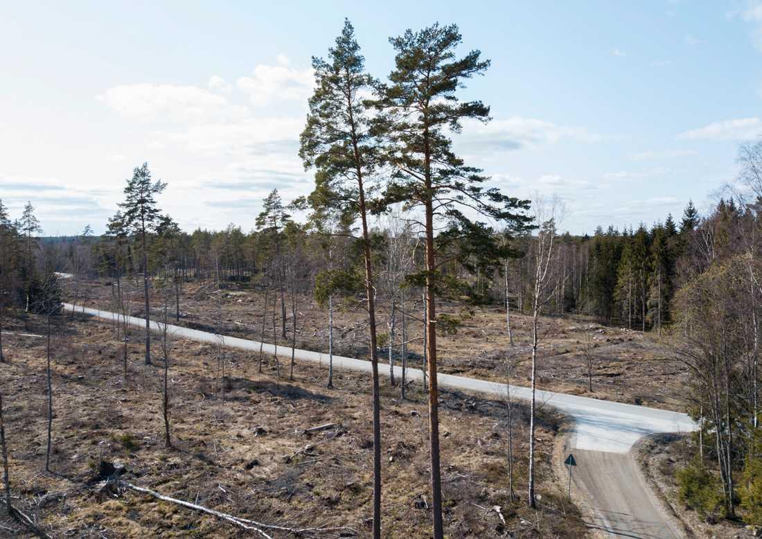 Bestånden av blåbär, lingon och andra markväxter har minskat med nästan 20 procent i svenska skogar sedan 1990-talet. Efter en omfattande avverkning kan det ta närmare 50 år för blåbärsris och lingon att växa tillbaka. Arkivbild.