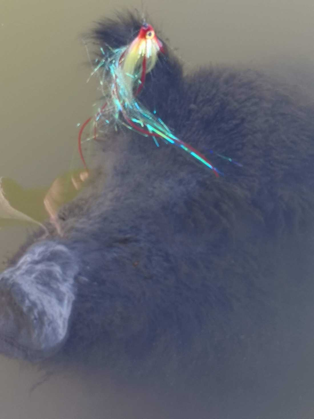 De två vännerna fiskade upp ett dött vildsvin.