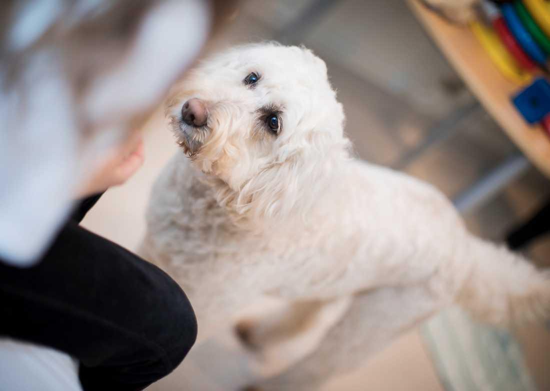 Labradoodlen Livia har ett jätteviktigt jobb. Nu hoppas hennes matte, barnläkaren Ann Edner, att hundar blir ett stadigt inslag i barnsjukvården.