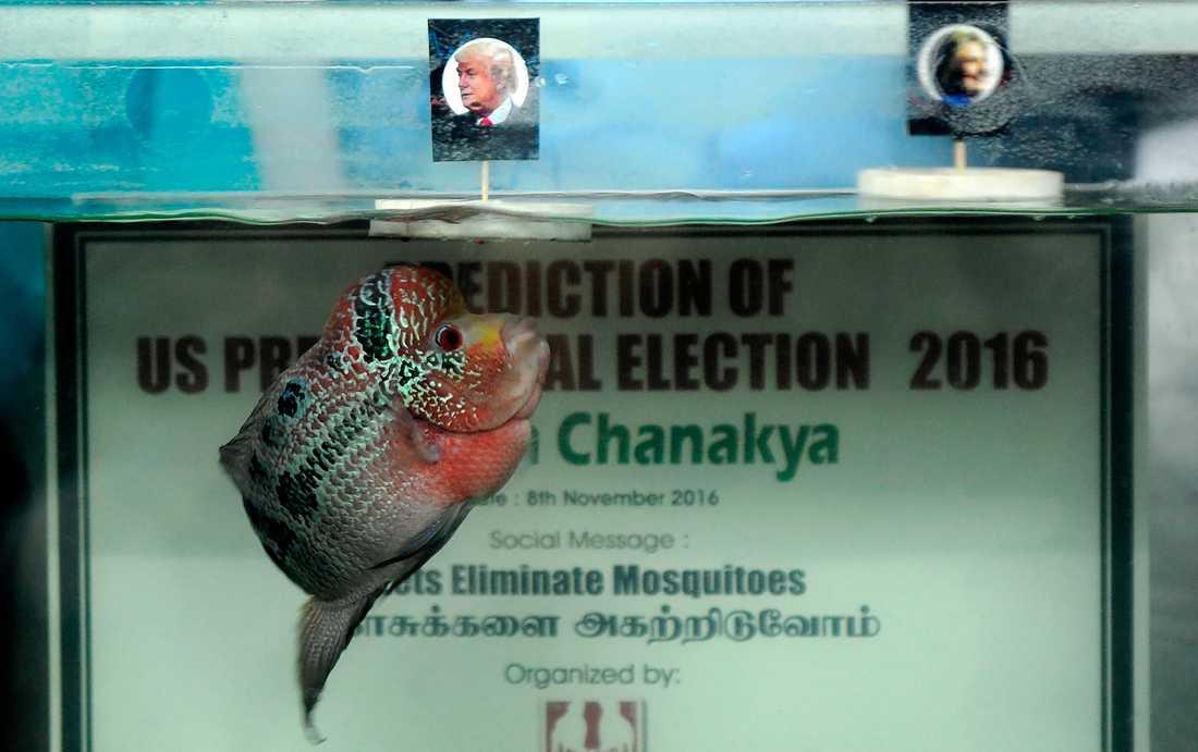 """INTE ALLS """"FISHY"""" Den indiska spåkonstnären Chanakya simmar upp mot ytan och väljer..."""